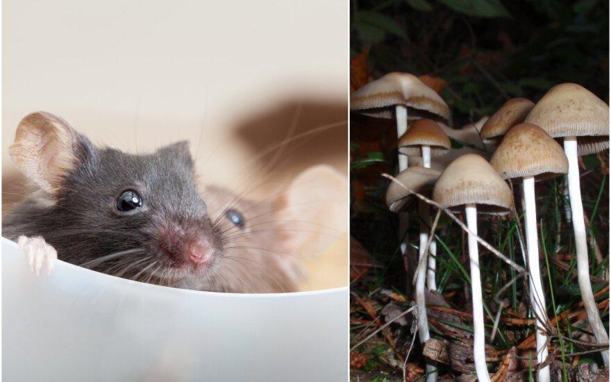 Naujame priešklinikinių eksperimentų etape mokslininkai suleisdavo vienkartinę psilocibino dozę pelėms ir stebėjo, kaip tai veikia smegenų darbą.