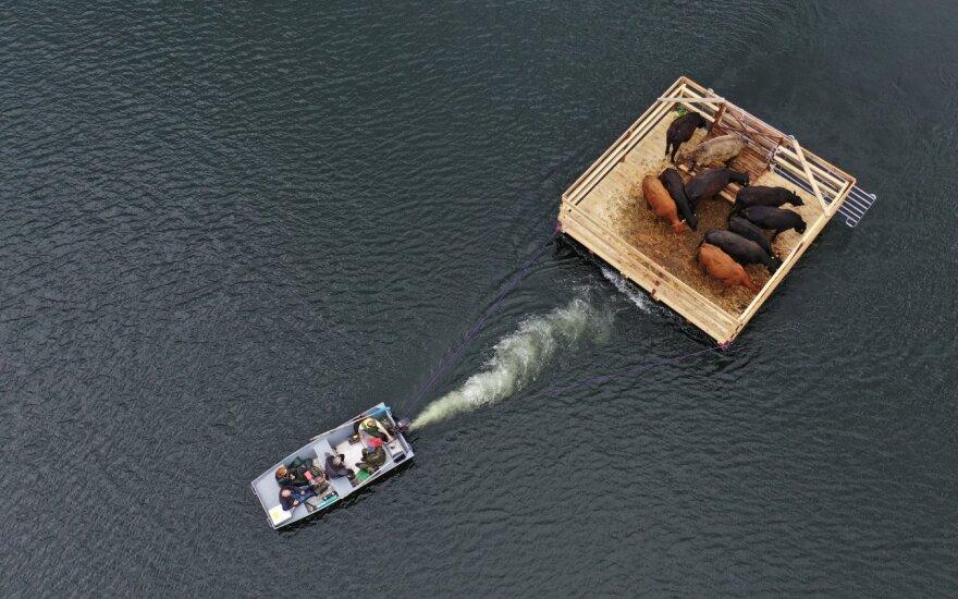 Galvijai gabenami į pusiasalį
