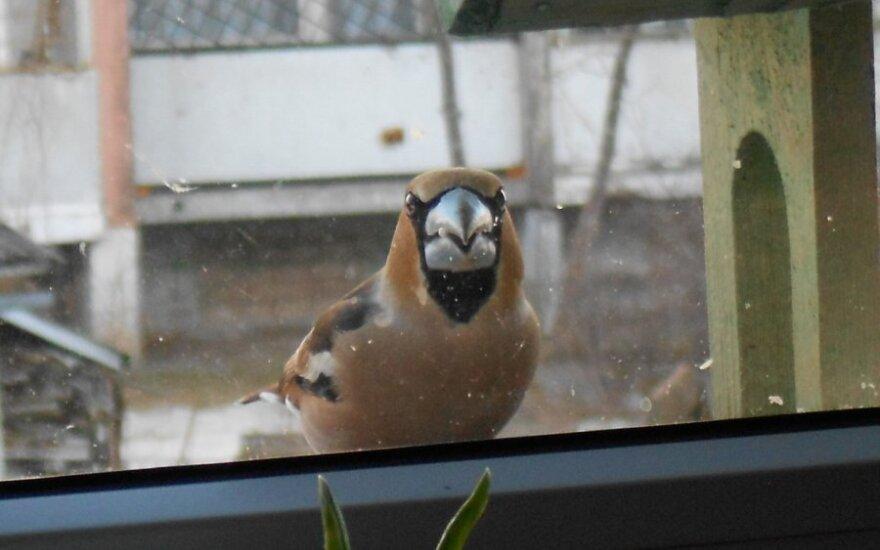 Savaitgalio rytą už lango pamatė netikėtą svečią