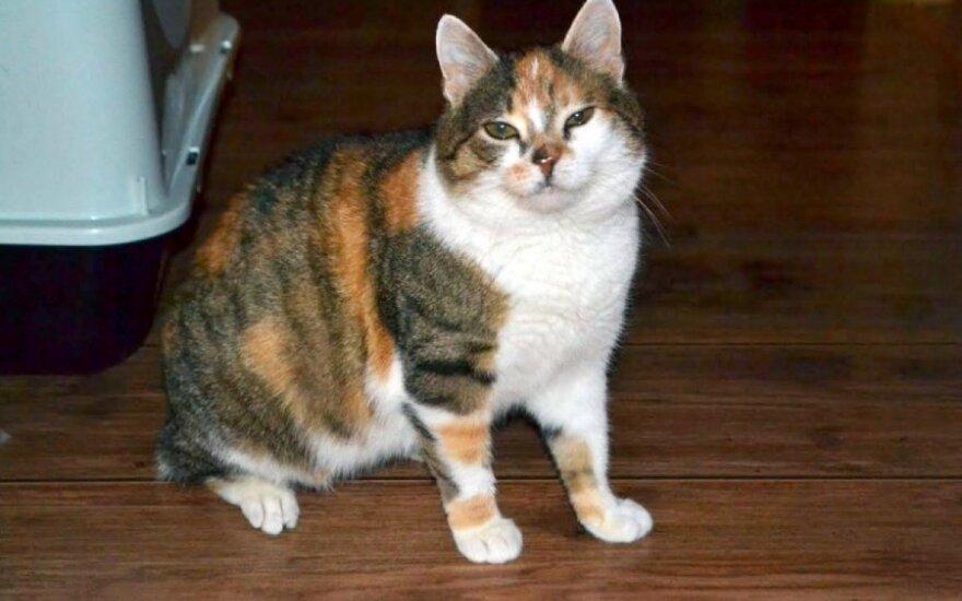 Kompaktiška katė Montana ieško namų