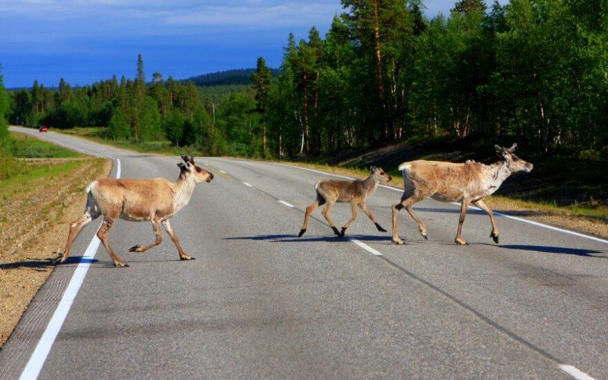 Laukiniai gyvūnai kelyje
