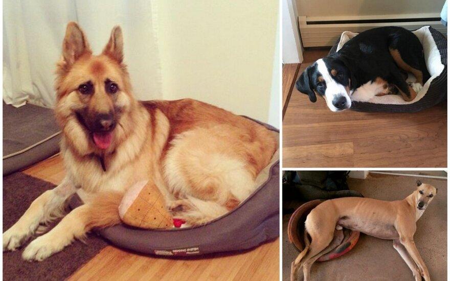 """Smagios nuotraukos: šunys, kurie <span style=""""color: #c00000;"""">vis dar įsivaizduoja</span> esantys mažučiai"""