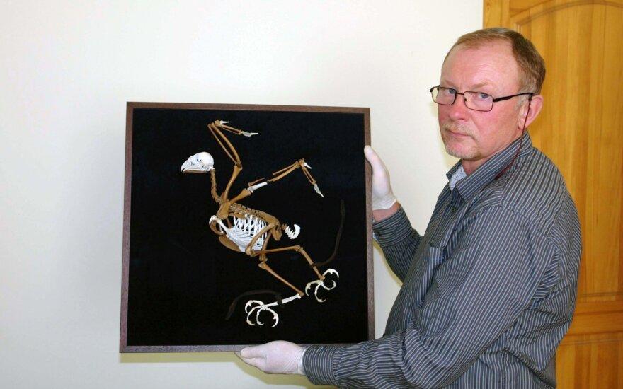Ornitologas Saulius Rumbutis demonstruoja atkurtą vištvanagio skeletą su odiniais dirželiais.