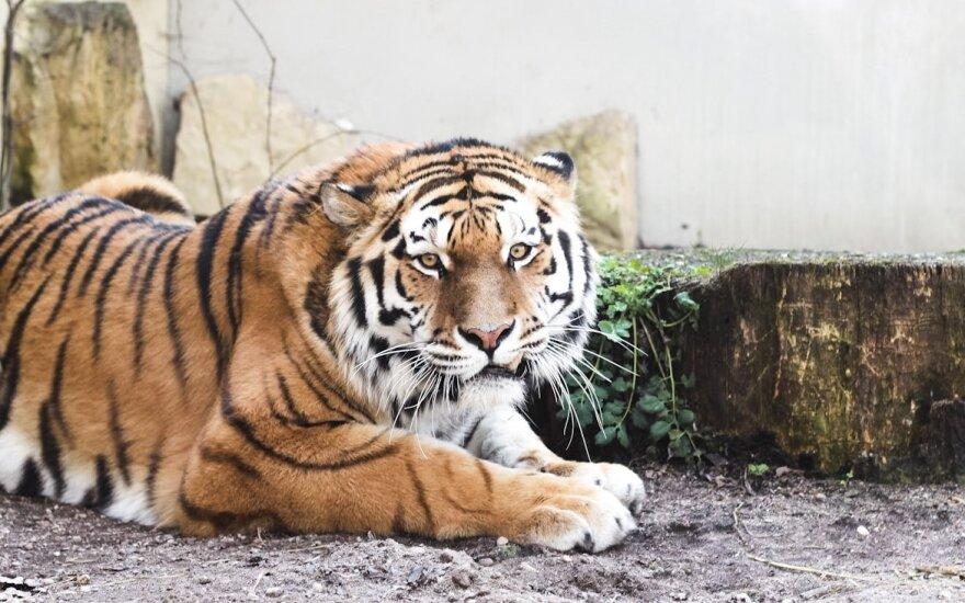 Tigras zoologijos sode