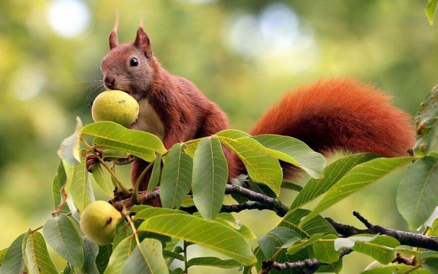 Kuo serga graikiniai riešutmedžiai?