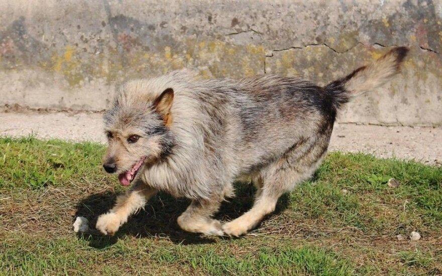 Šuniukas Bazas, panašus į šerniuką, ieško namų