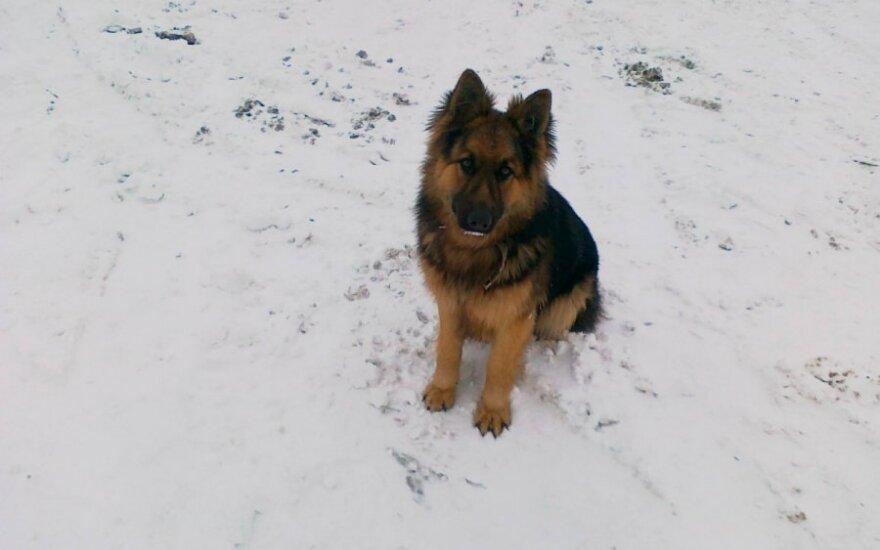Vilniaus rajone dingo šuo