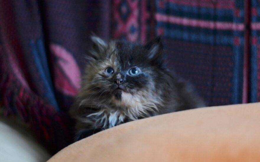 Dvi pūkuotos 1,5 mėn. pasakiško grožio katytės ieško namų!
