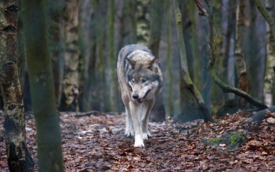Vilkai medžiojami ir jų pačių labui