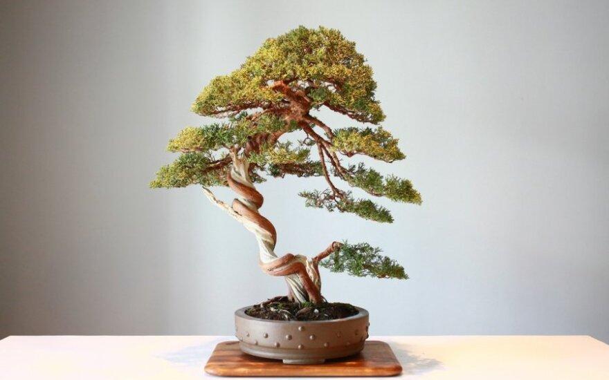 Bonsai - asociatyvi nuotr.