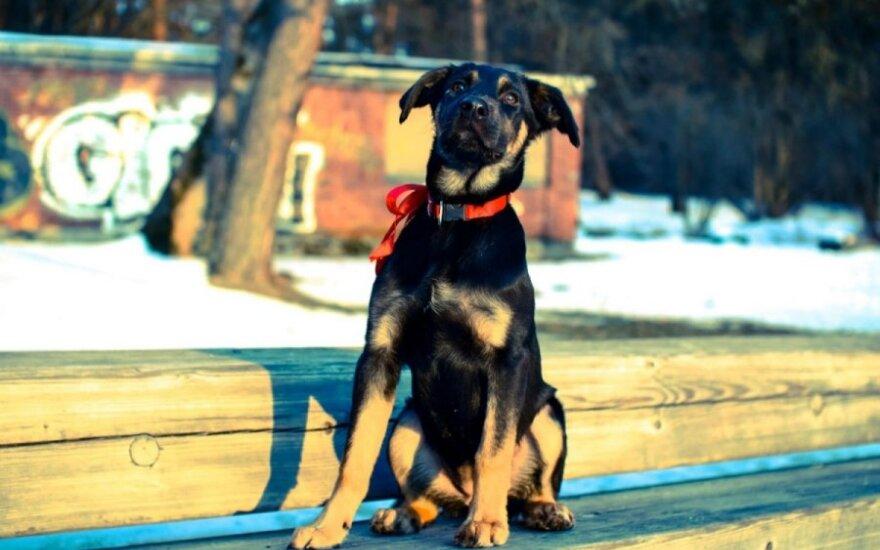 Dobermano grožį pagrobusi Triksė ieško namų!