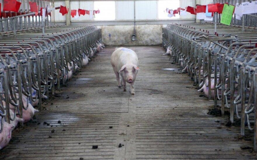 Sieks, kad EK padengtų visas išlaidas dėl kiaulių maro