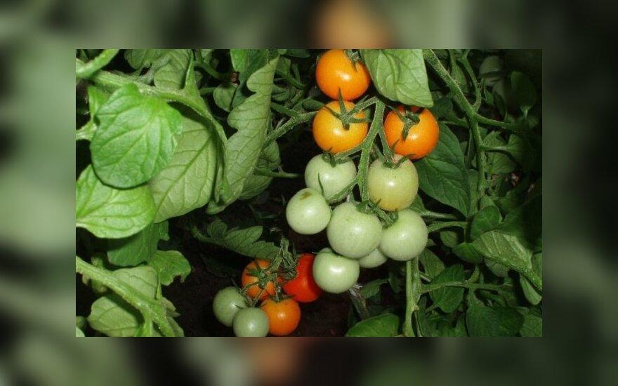 Rekomenduojama vitamino C paros norma suaugusiam žmogui – 60 mg, tai atitiktų 3-4 vidutinio dydžio pomidorus / LAMMC Sodininkystės ir Daržininkystės Instituto nuotr.