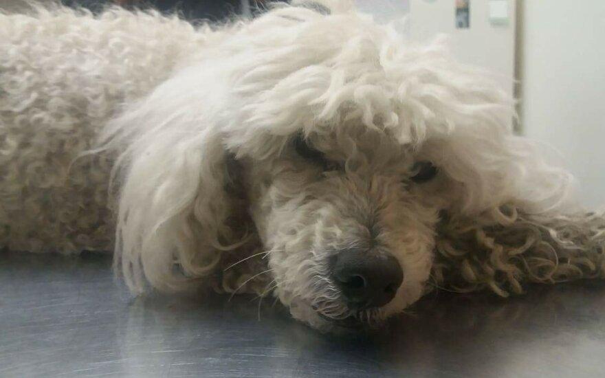 Kauno Aleksote rastas pasimetęs šunelis laukia šeimininkų