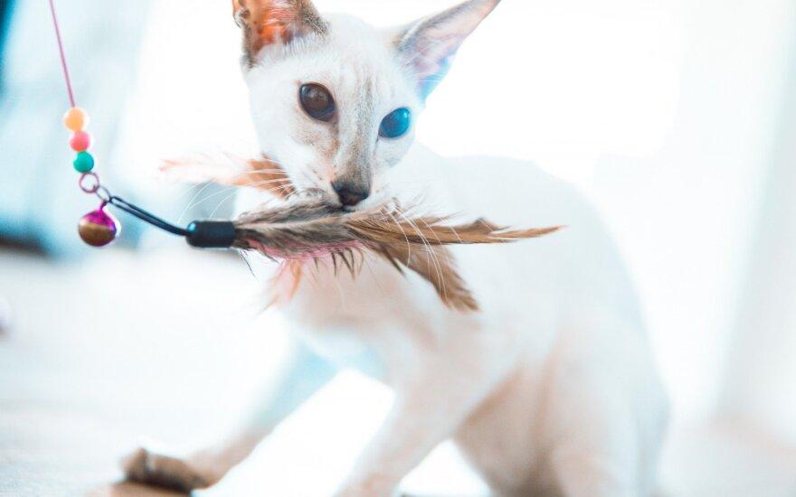 Siamo katės – mitais apipinta veislė