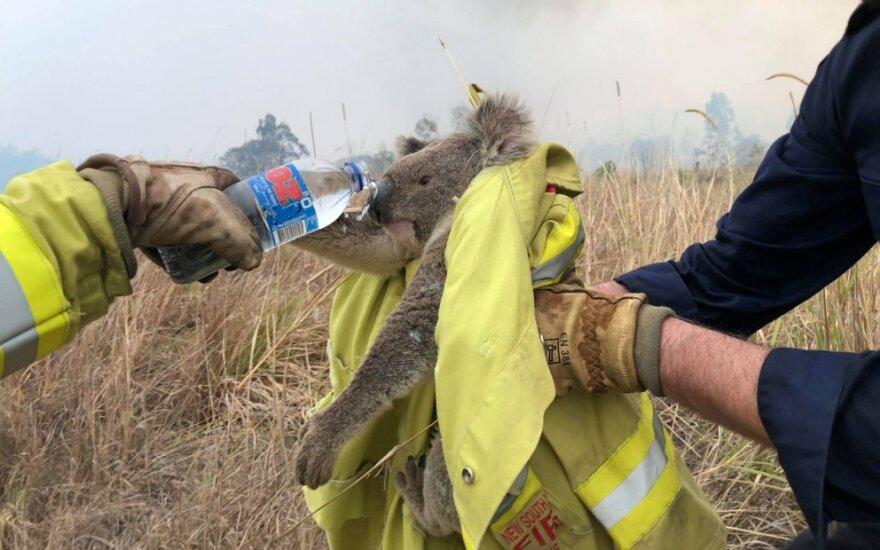 Australai gelbėja koalas nuo miškų gaisrų