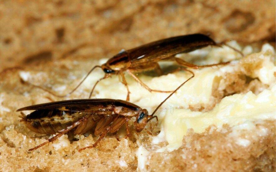 Tarakonai ant delno / ant duonos gabalėlio