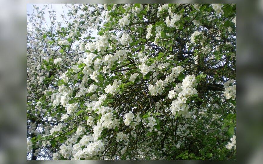 Ekologinis obelų sodas – prabanga?