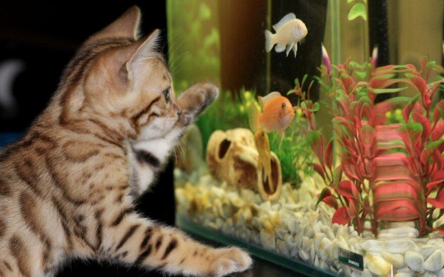 Kačiukas prie akvariumo