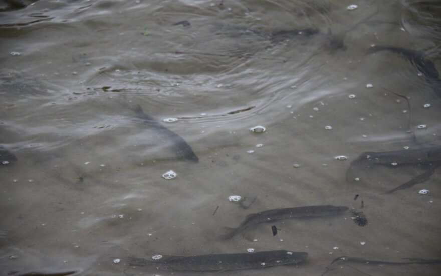 Naujomis žuvimis pasipildė Svirkančių tvenkinys