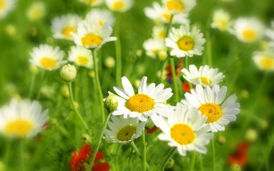 Žydinti pieva vietoj vejos – taupantiems laiką