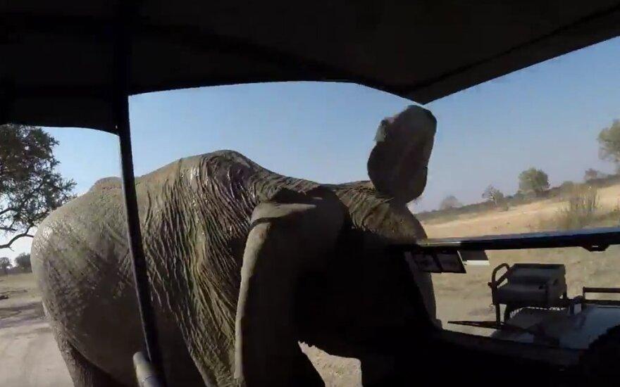 Įsisiautėjęs dramblys
