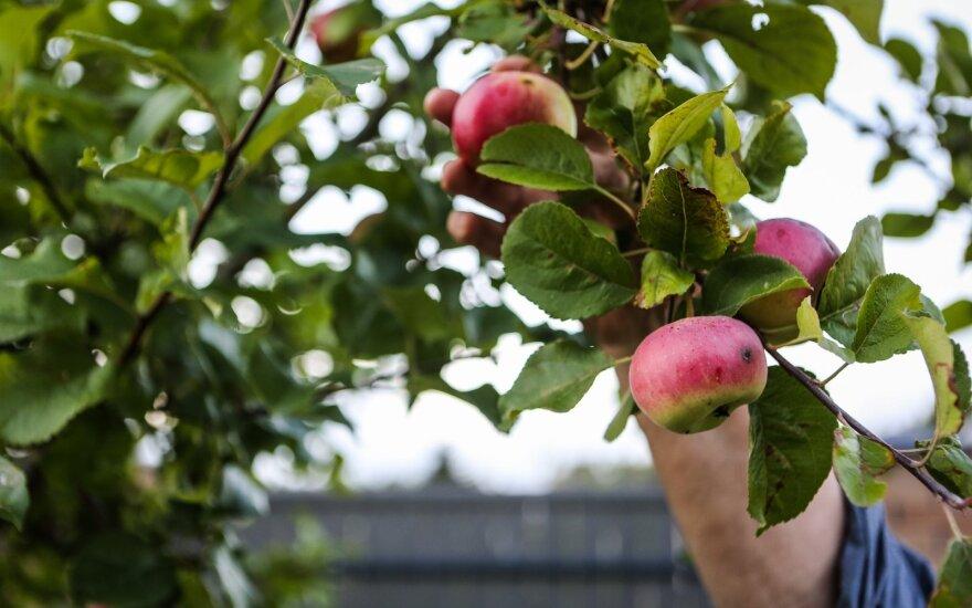 Įdaryti ir orkaitėje kepti obuoliai