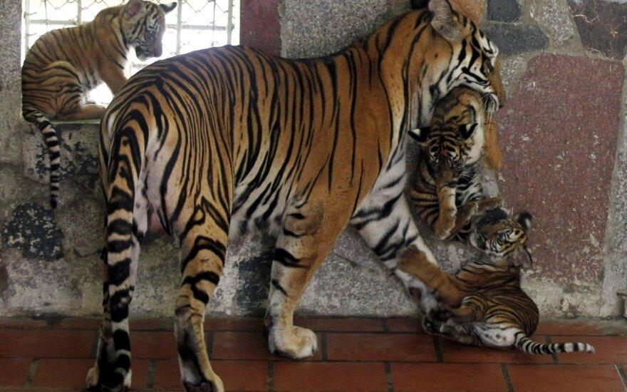 Vietnamo zoologijos sode tigras sunkiai sužalojo vyrą