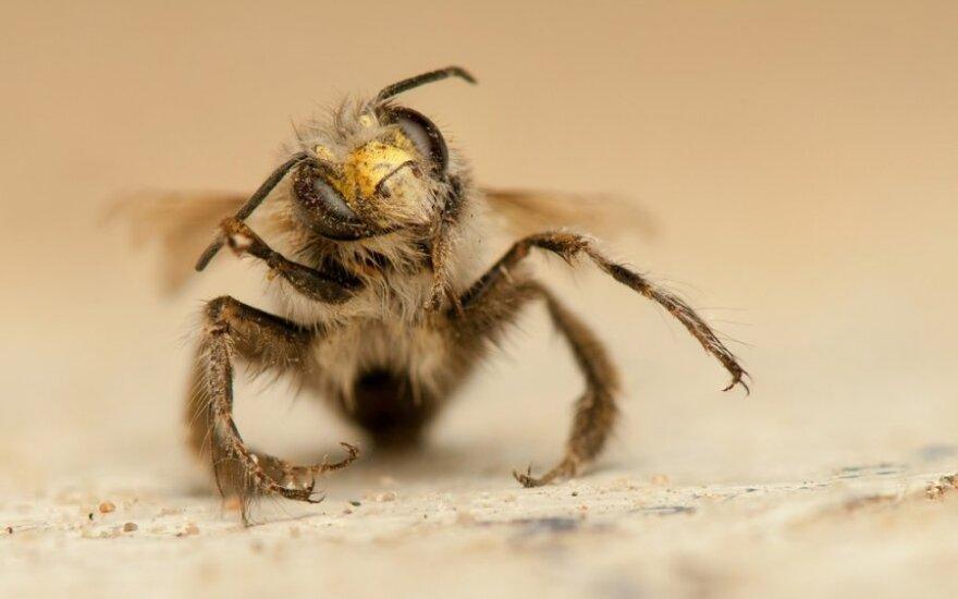 Ar galima kaip nors sužinoti, kad esu alergiškas bičių įgėlimui, kaip apsisaugoti?