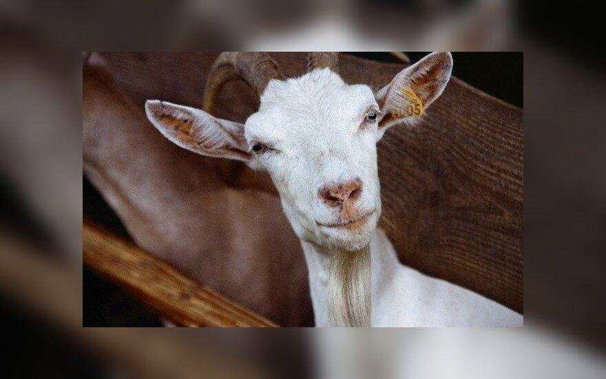 Turistus vilioja graži aplinka ir ožkų sūriai