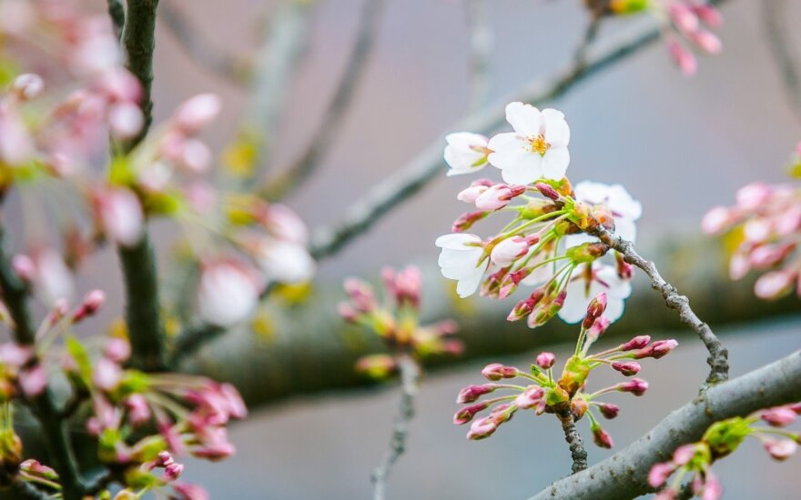 Vilnius' sakura cherry blossoms finally bloom