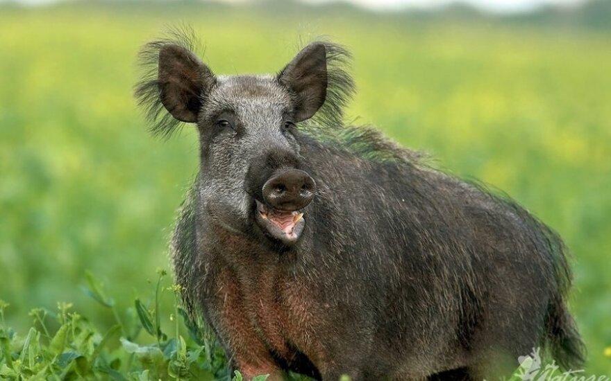 Latvijoje plinta afrikinis kiaulių maras