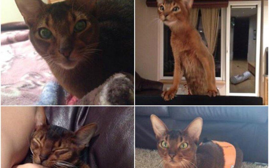 Vilniuje dingo Abisinijos veislės katinas – šeimininkai prašo padėti
