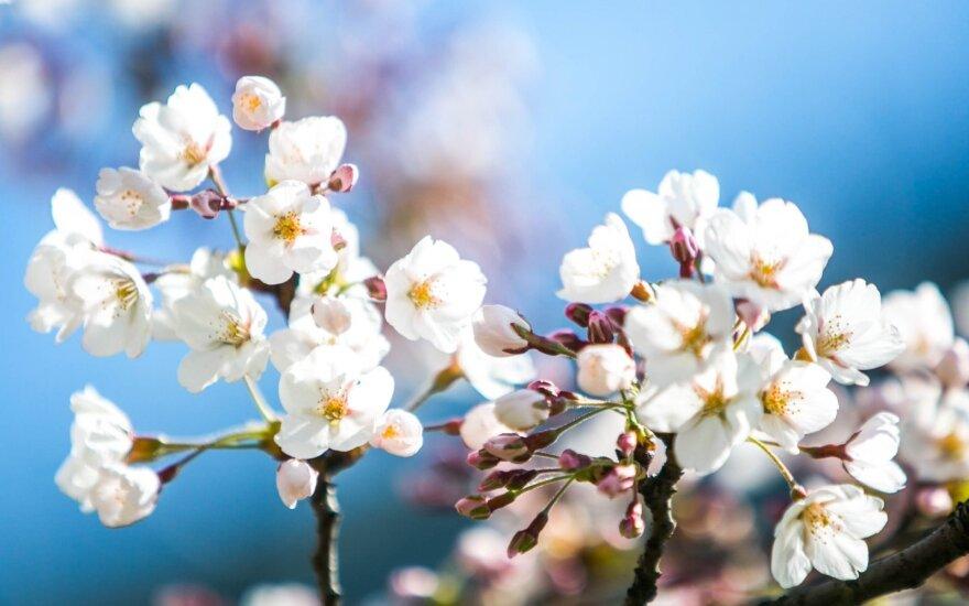Sakuros – nereiklus grožis, galintis augti daugelio kieme