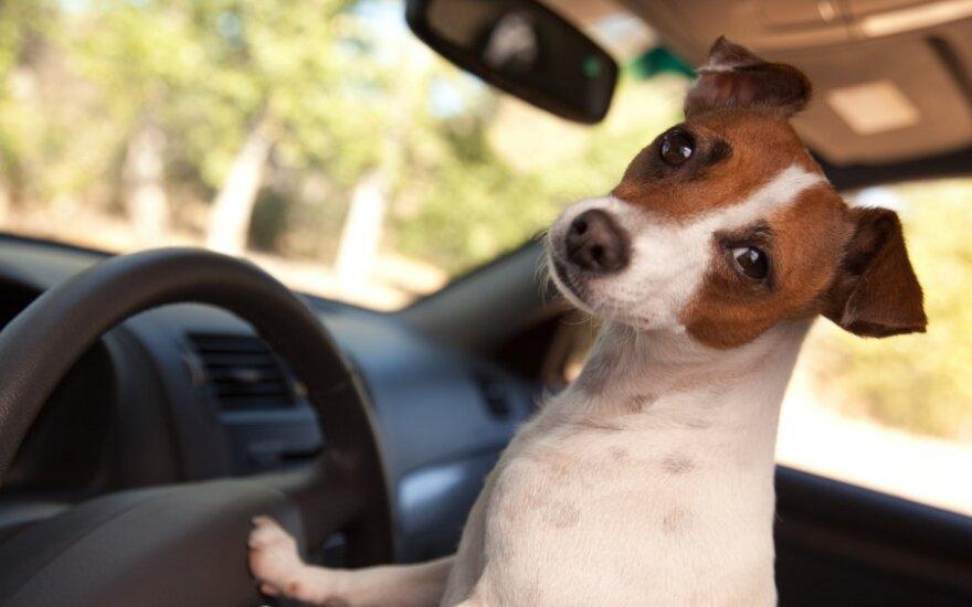 Šuo automobilyje, augintinis