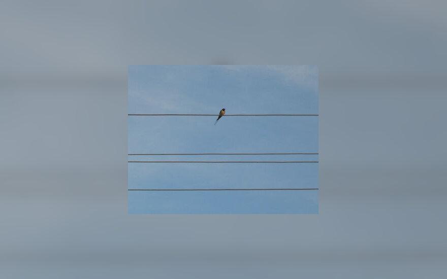 Kregždė, paukštis, elektros laidai, dangus