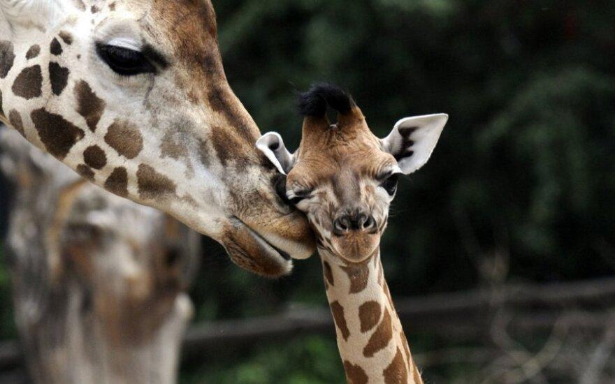 Žirafa su jaunikliu