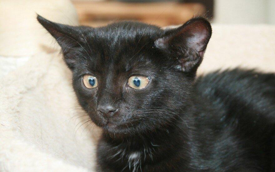 Aksominis kačiukas Harlis ieško namų