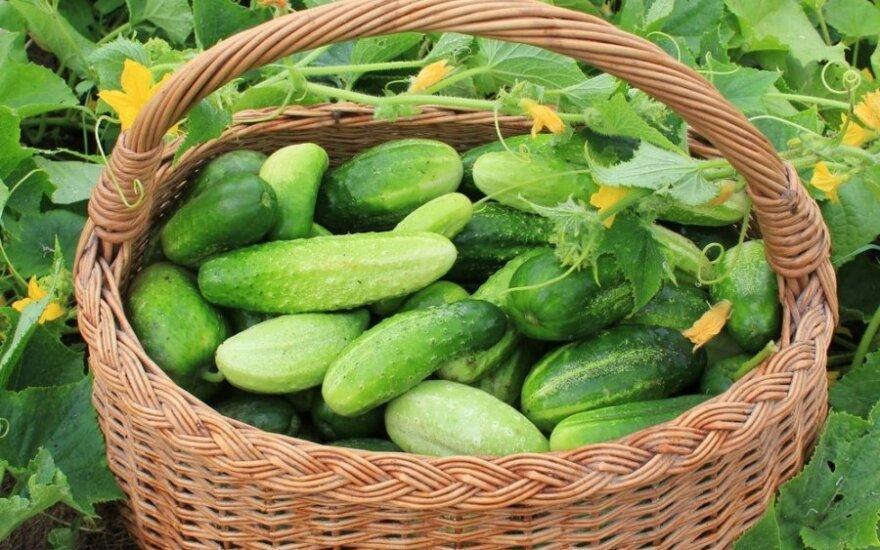 Pagrindinės klaidos, auginant agurkus