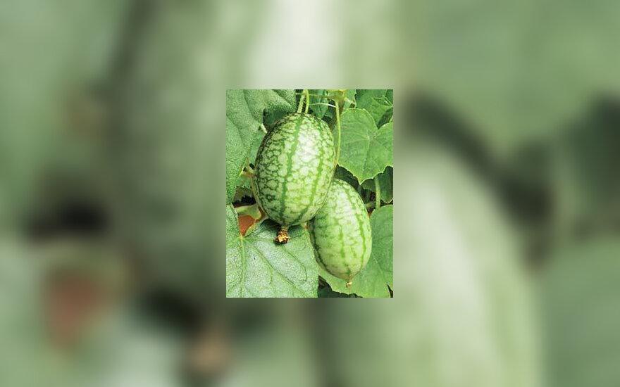 Melotrija, afrikiniai agurkai