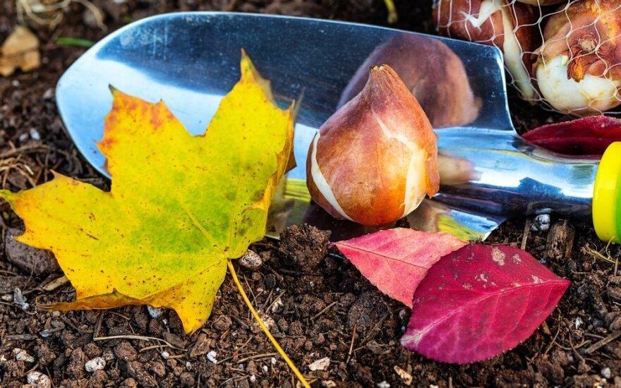 Daugiamečiai augalai: ką galima ir reikia sodinti rudenį