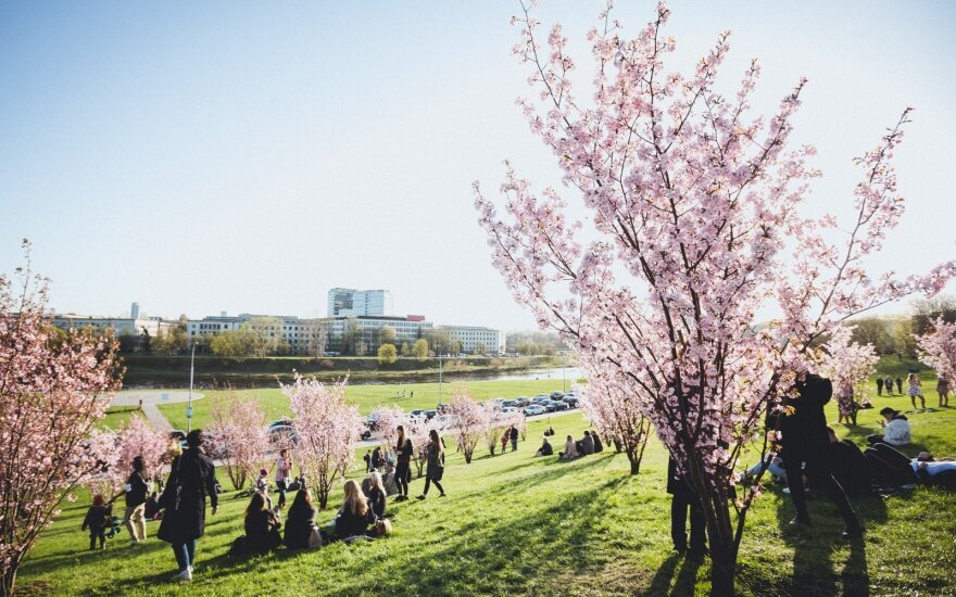 People enjoy sakura trees blossom in Vilnius