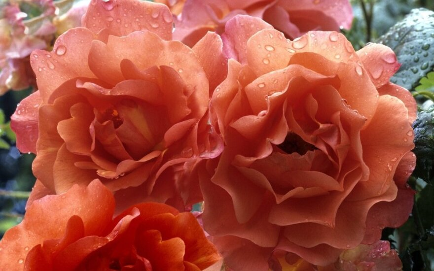 Rožės - gėlių karalienės