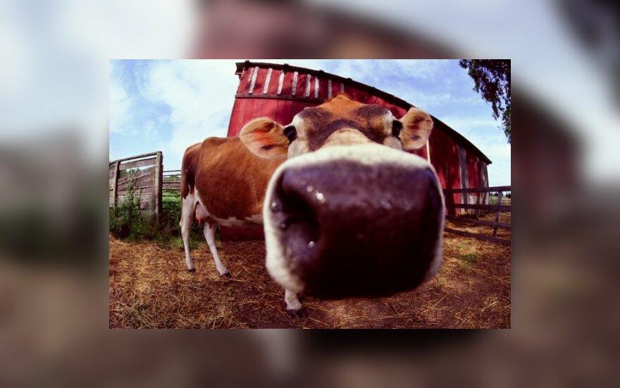 """Karvės šlapimu galima """"apšildyti"""" namus"""
