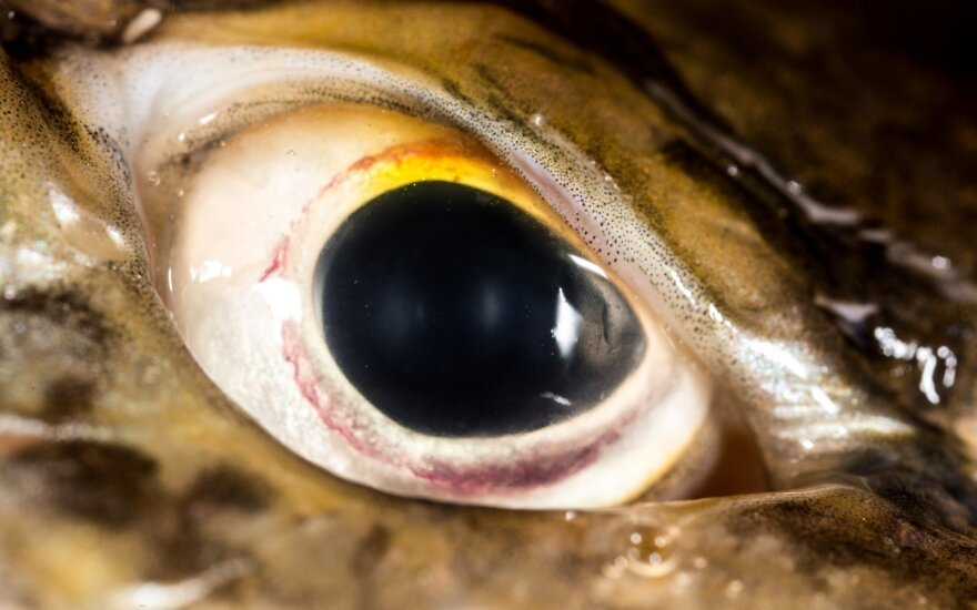 Lydekos akis