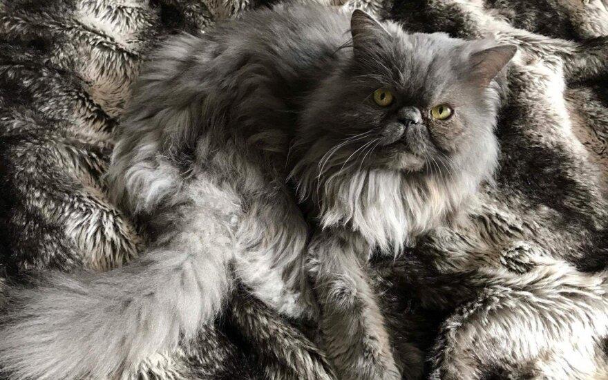Vilniaus Naujamiestyje dingo katinas – radusieji susisiekite