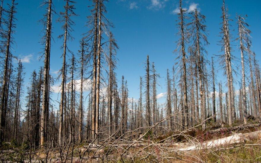 Miręs miškas Vokietijoje. Rūgštaus lietaus pasekmė