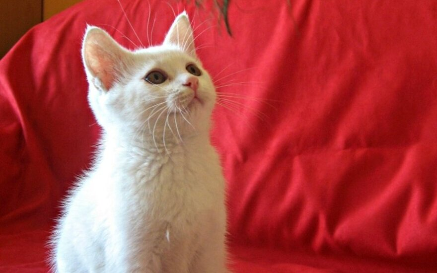 Lazdynuose rastas baltas kačiukas ieško šeimininkų!