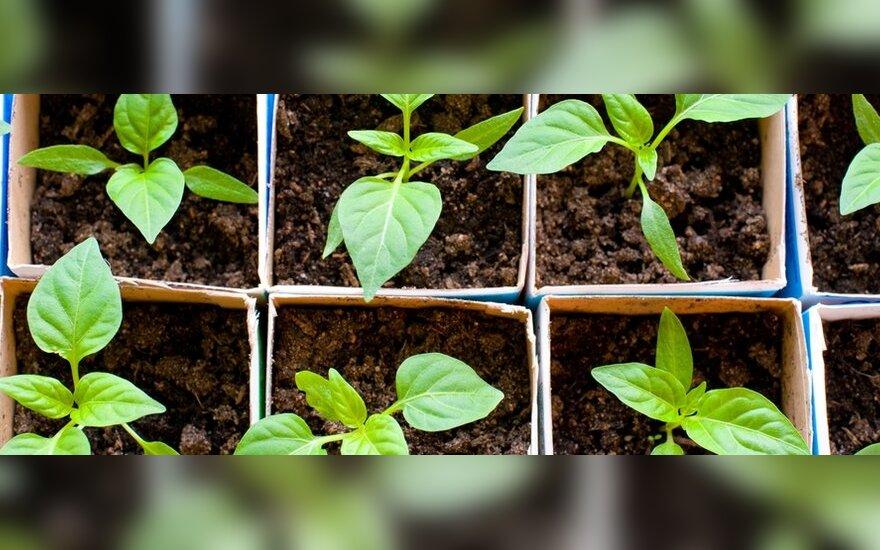 Prasideda sėklų pirkimo sezonas, dalis jų keliauja į užsienį