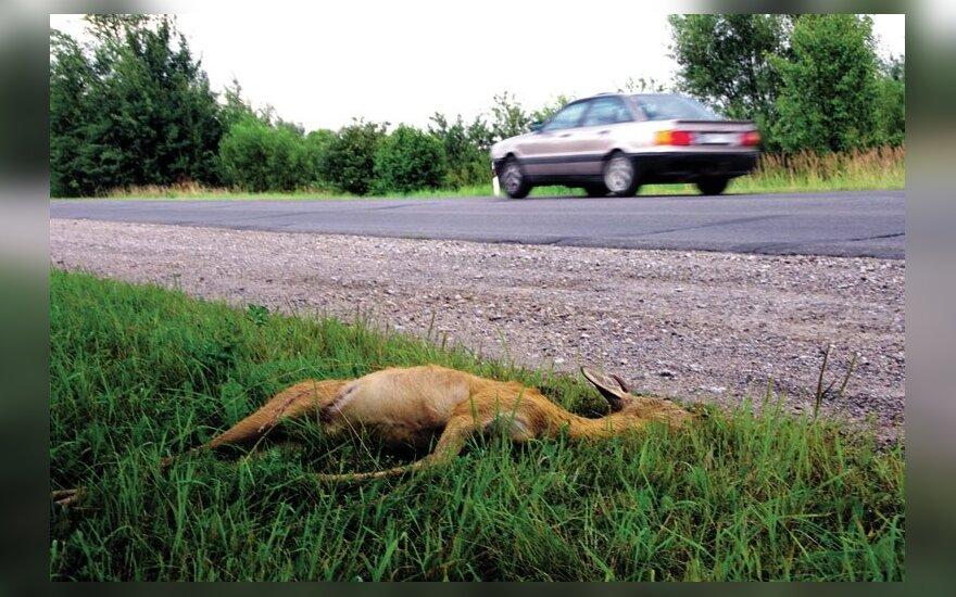 Ar ir už keliuose užmuštus žvėris vairuotojai mokės tūkstančius? / V. Ribikausko nuotr.